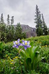 Columbine in Colorado Mountain Basin Vertical