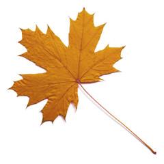 fall  dry maple leaf