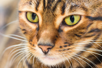 Portrait of cat brown mackerel tabby color, close-up.