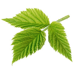 Detailed raspberry leaves close-up isolated on a white background