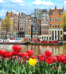 Fototapeta Beautiful landscape with tulips and houses in Amsterdam, Holland