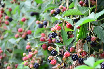 Fresh blackberries ripen in garden or on farm