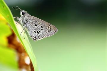 Skipper Butterfly Resting on Leaf in Garden