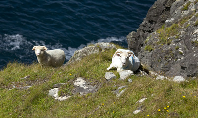 Goats in Dingle Peninsula, Ireland.