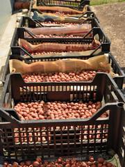 raccolta delle nocciole del Monferrato