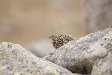 Female Ptarmigan Sitting On A Rock In The Cairngorms National Park.