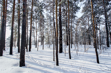 Birch and pine forest