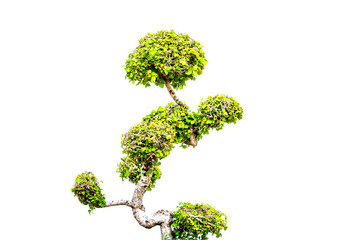 Dwarf tree on white background