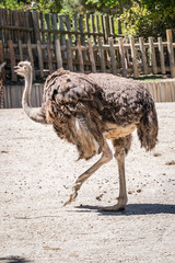 adult female ostrich running on a sunny day