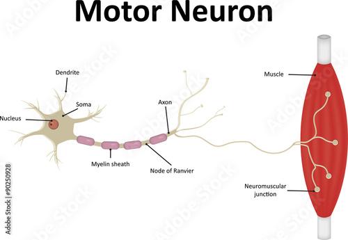 Motor Neurone Labeled Zdj Stockowych I Obraz W Royalty