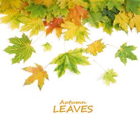 Autumn wild maple leaves background isolated on white