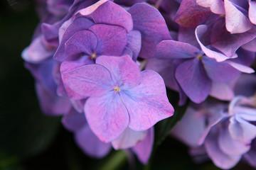 Fond de hotte en verre imprimé Hortensia Purple Hydrangea - close up