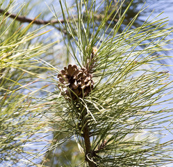 pine on nature