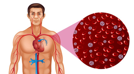 Blood circulation in human