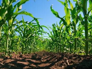 Corn plantation rows. Worm's view