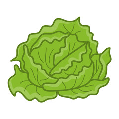 green cabbage isolated illustration