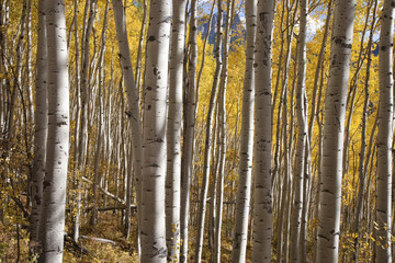 Aspen grove in autumn color outside of Ridgeway, CO.