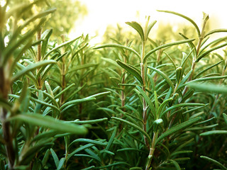 ROSEMARY HD WALLPAPER