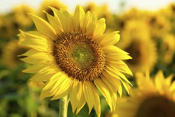 Sunflower close up at sunset