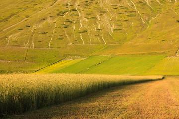 Castelluccio di Norcia: grano dorato
