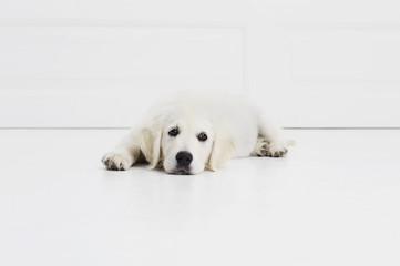 Tired puppy lying on floor, portrait