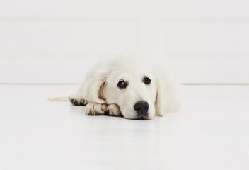 Labrador puppy dog tired in studio, portrait