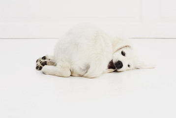 Playful puppy on studio floor, portrait
