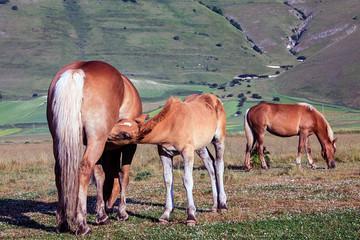 Cavallino a Catelluccio di Norcia