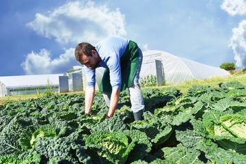 Ernte von Gemüse auf dem Feld durch einen Bauern per Hand - Biohof