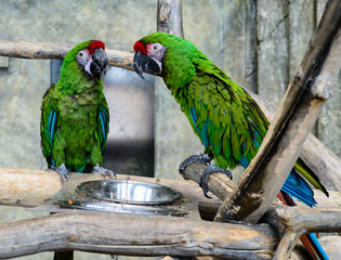 two green parrots  (ara millitaris)  eating from a bowl, focus o