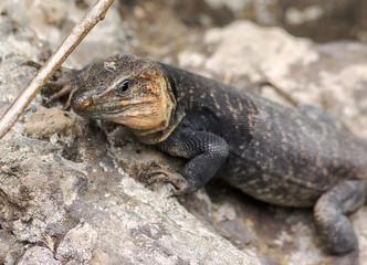 Lizard from Gran Canaria