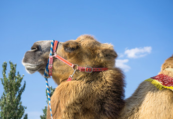 Head of camel against blue sky