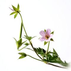 geranium, crane's bill
