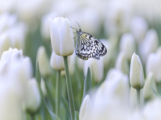 Butterfly in a field with white tulips