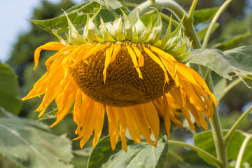 Close-up View of wilted and droopy sunflower