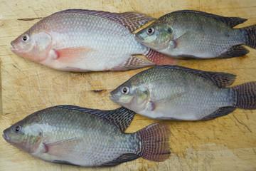 Aquaculture raising tilapia