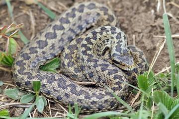 big female meadow viper