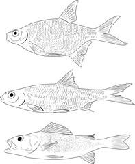 set of three freshwater fishes isolated on white
