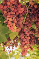 Uva rossa per vino buonissimo