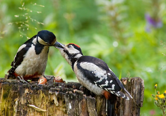 Adult Great Spotted Woodpecker feeds baby bird on feeder