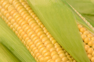 Fresh ripe corn cob between green leaves