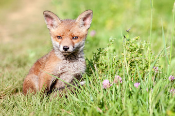 Red fox cub in the meadow.