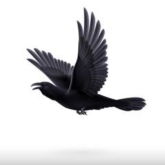 Black raven on white background