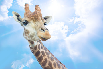 head of nice giraffe against sky