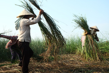 Vietnam farmers harvesting sedge on there field in Thanh hoa on August 23, 2015. Weaving sedge mat is a traditional craft of the people in NgaSon, ThanHoa, Vietnam