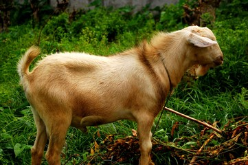 Goat standing showing his side photo image