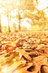 Herbst Eiche im Sonnenuntergang