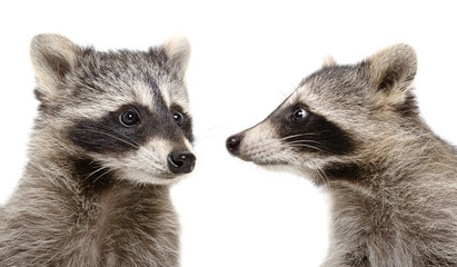 Portrait of two raccoons closeup isolated on white background