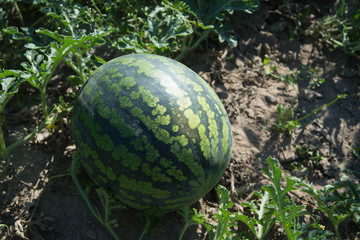 field with ripe watermelons in summer