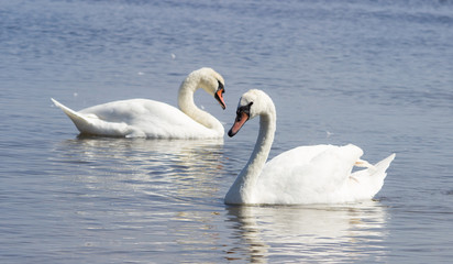 Mute swans on water